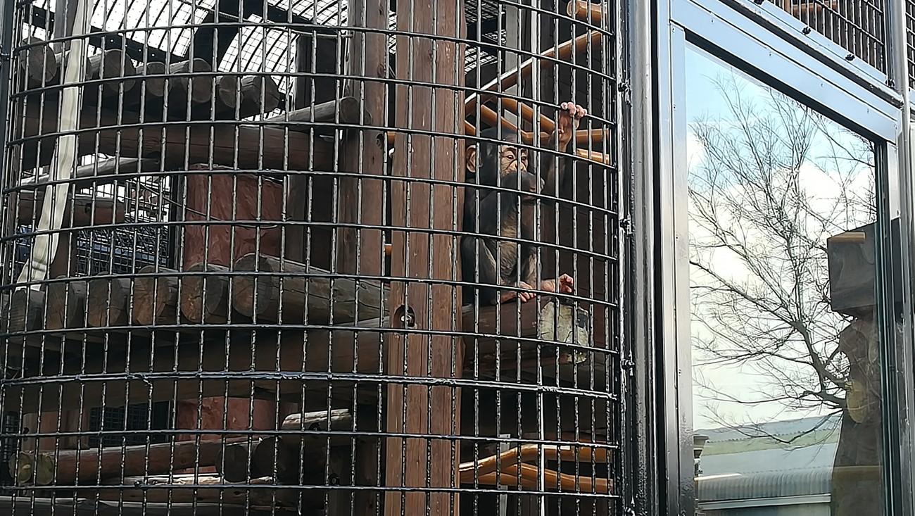 野毛山動物園 チンパンジー