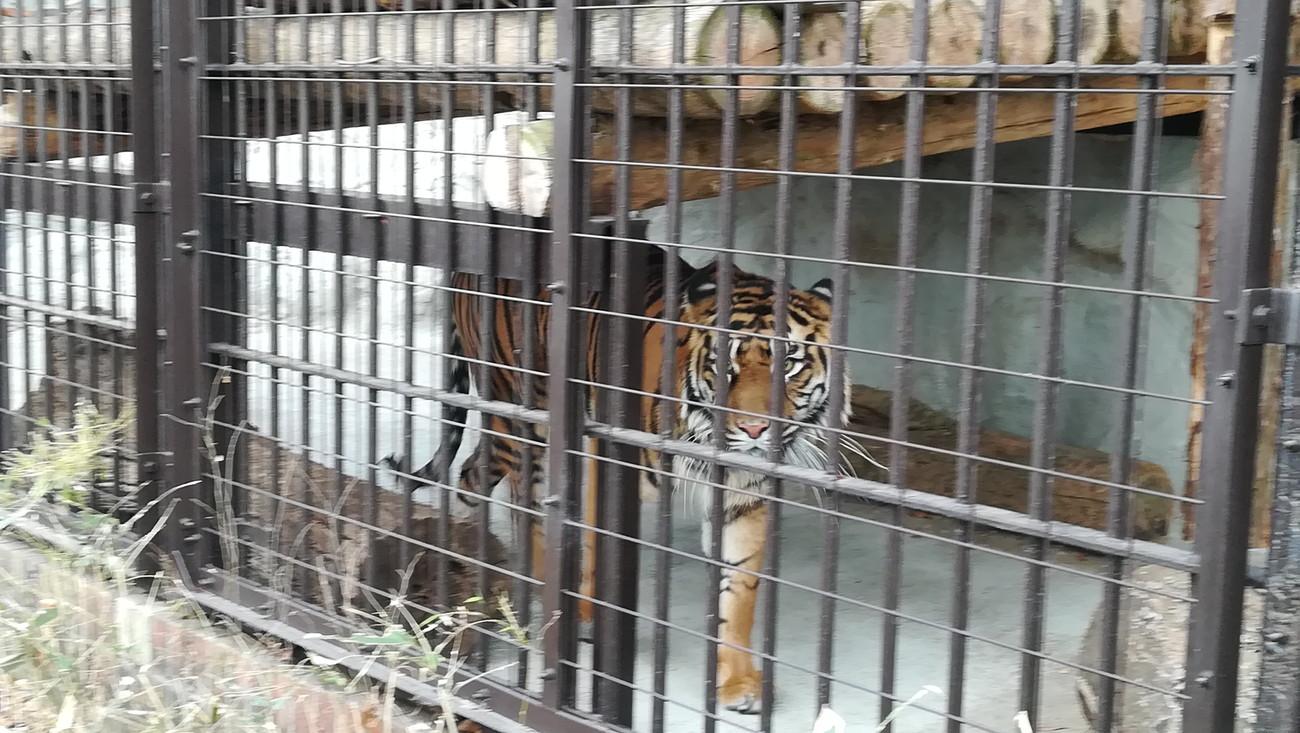 野毛山動物園トラ