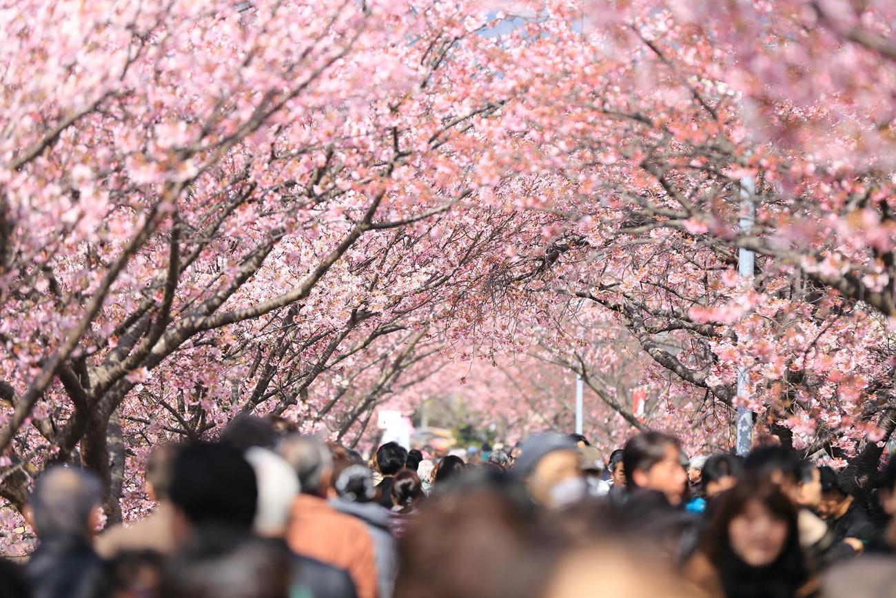 関東は桜が多い
